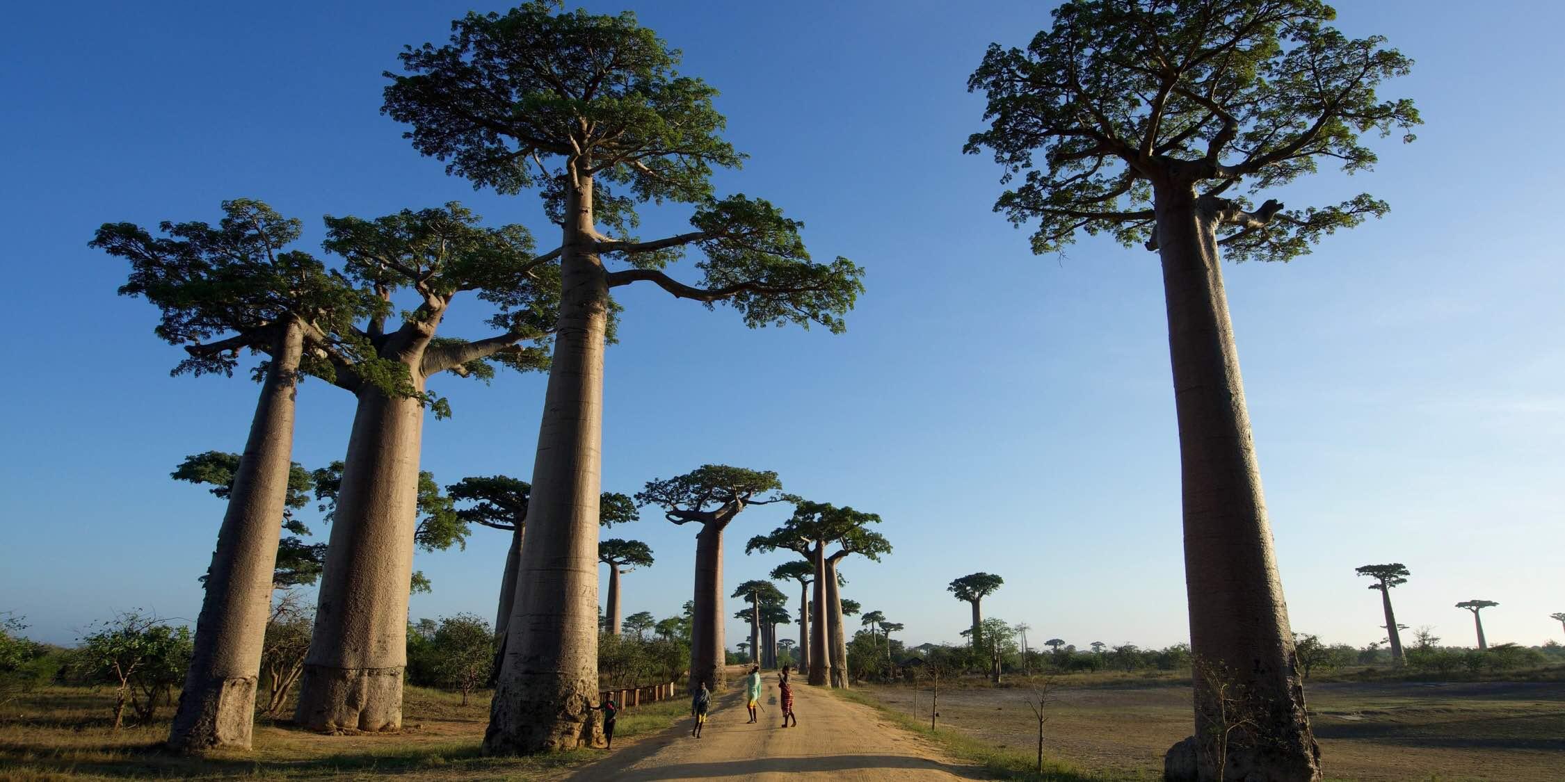 Baobab Avenue バオバブ街道 猴麵包樹大道
